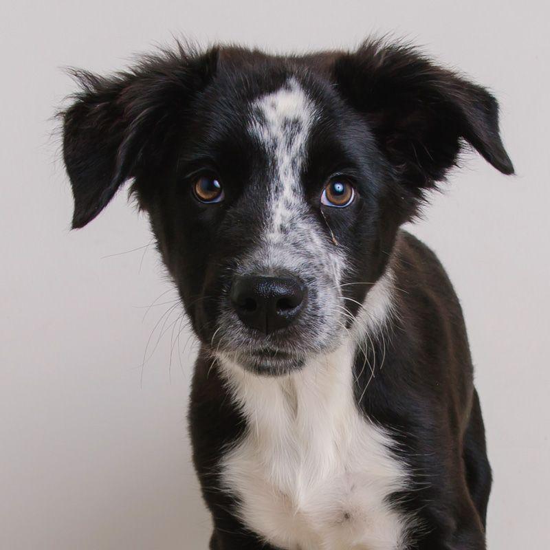BorderAussie dog for Adoption in Eden Prairie, MN. ADN