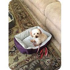 Tasha 4 Pds Tiny Bug Dog Rescue Inc Palm Bay Florida Pets