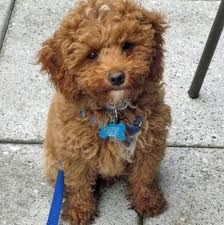 poodle mix Yahoo Image Search Results Maltese poodle