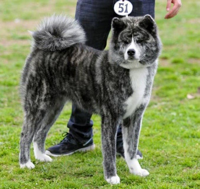 Blue Silver Brindle Akita Must Have Akita Dog Japanese Dogs