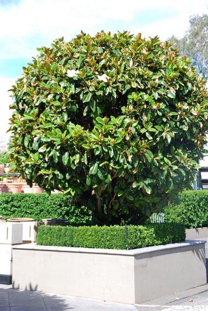 Magnolia Grandiflora St Mary Landscape Ideas Magnolia Garden