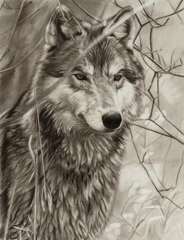 Awaiting Wolf By Ambr0 On Deviantart Traditional Pencil
