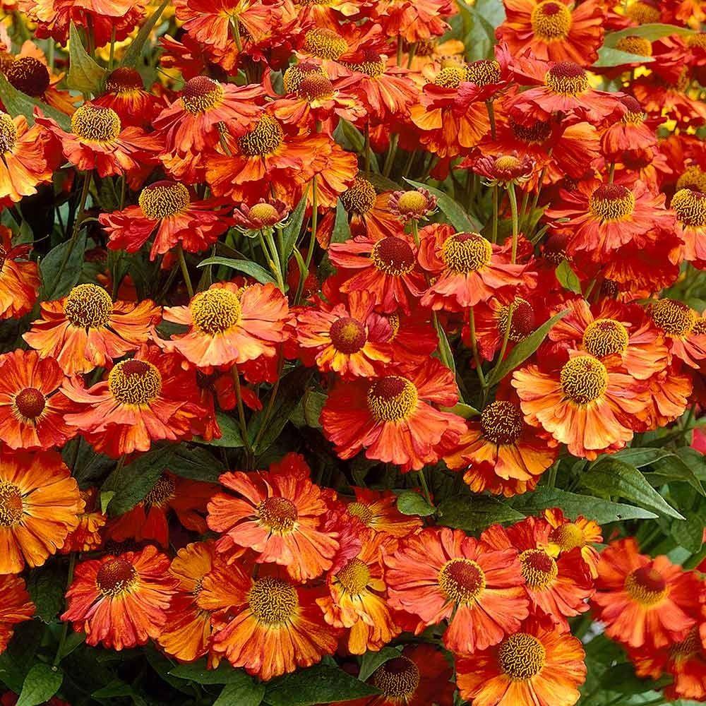 Helenium Moerheim Beauty Helenium By Variety Perennial Plants