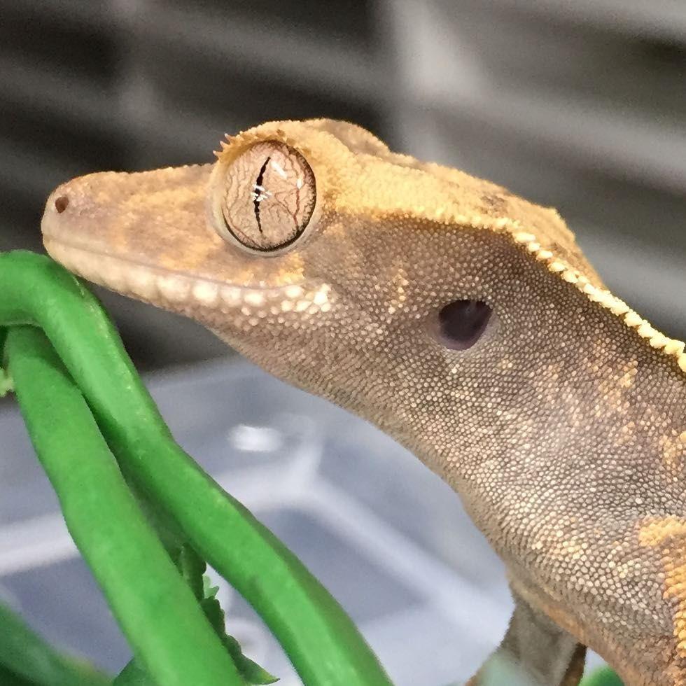 Pin by Reptilian Arts on Reptilian Arts Crested gecko