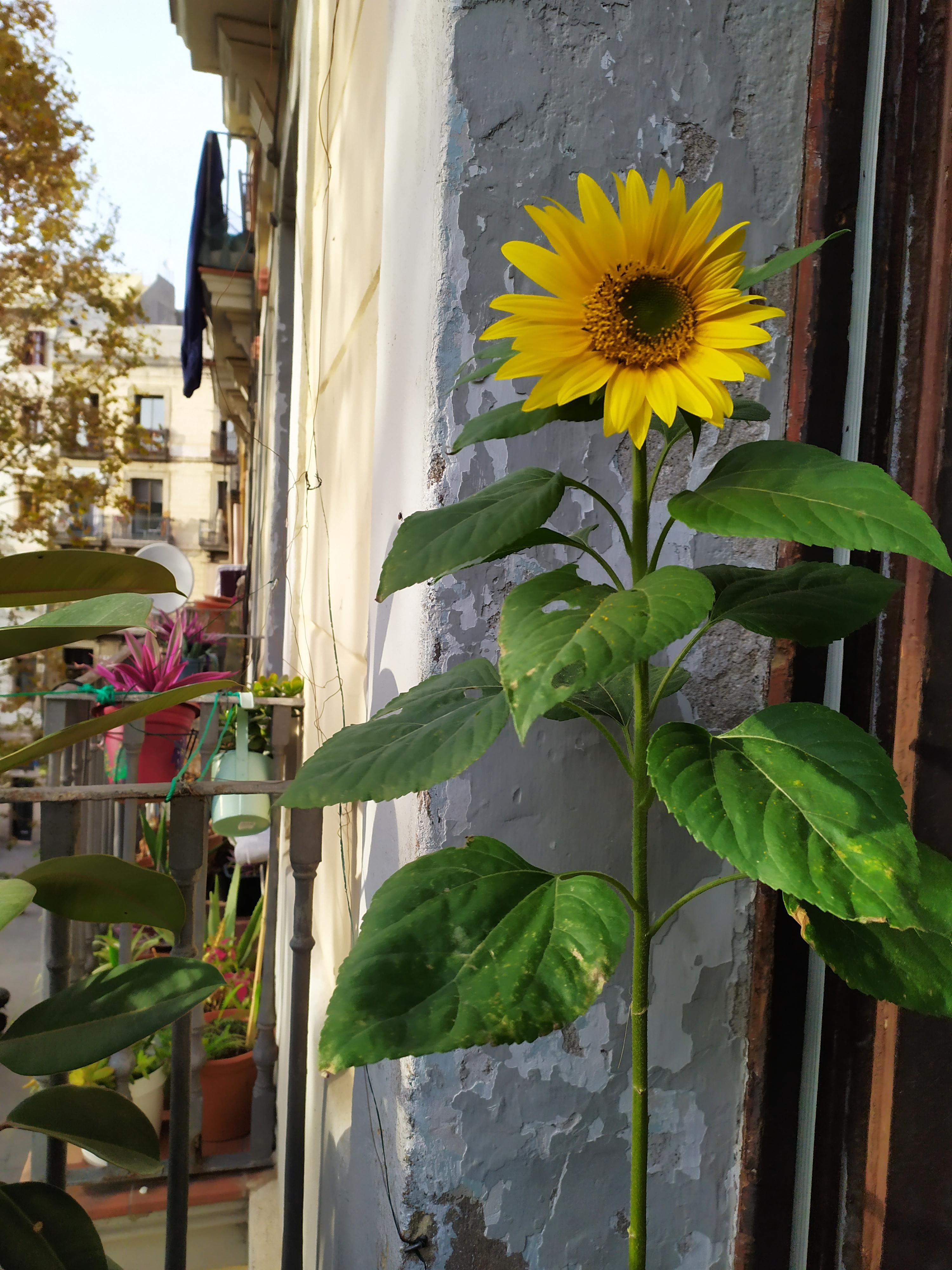 November sunflower on my balcony gardening garden diy