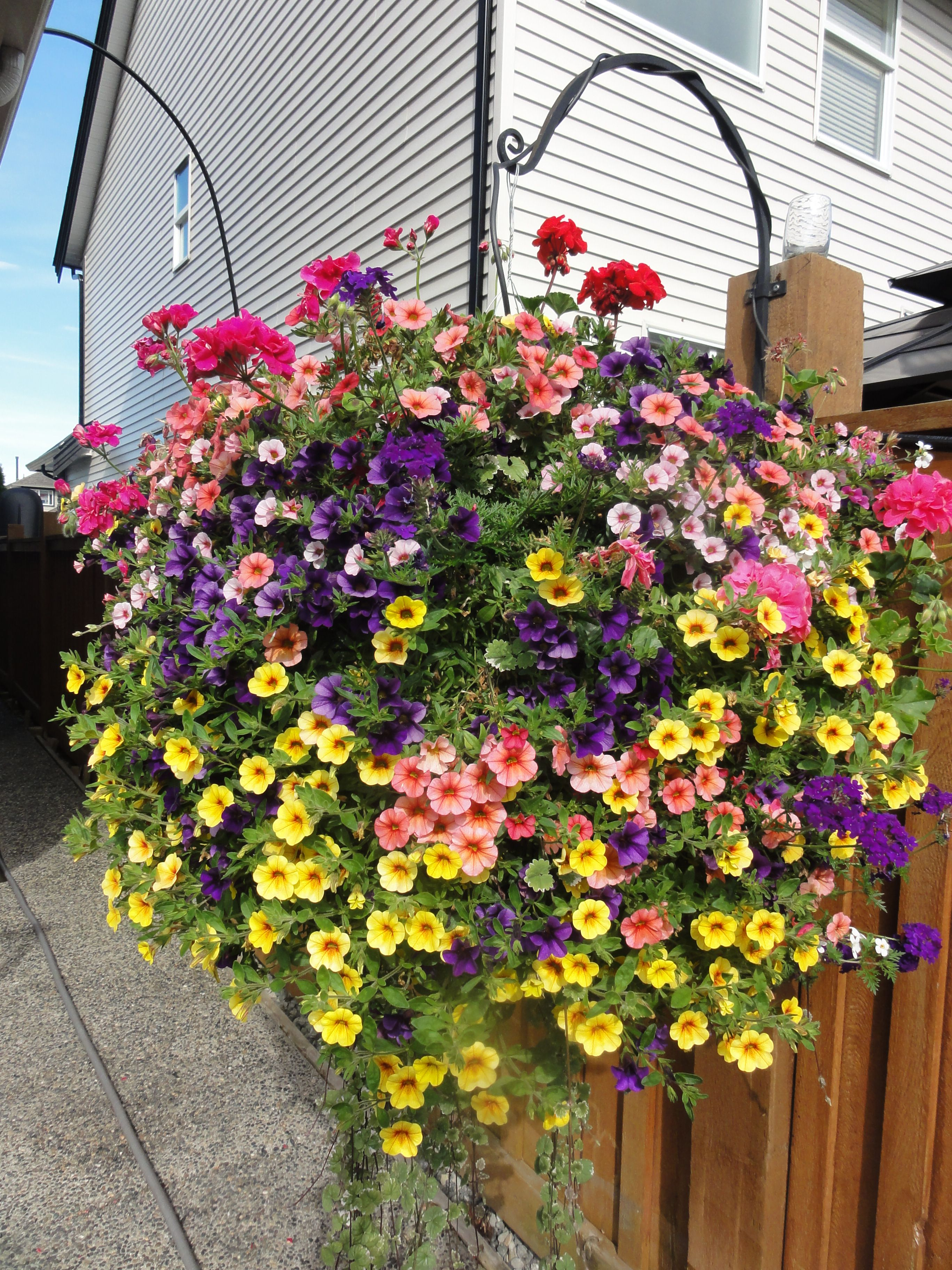 Hanging Flower Baskets Care : Beautiful west coast special full sun basket with