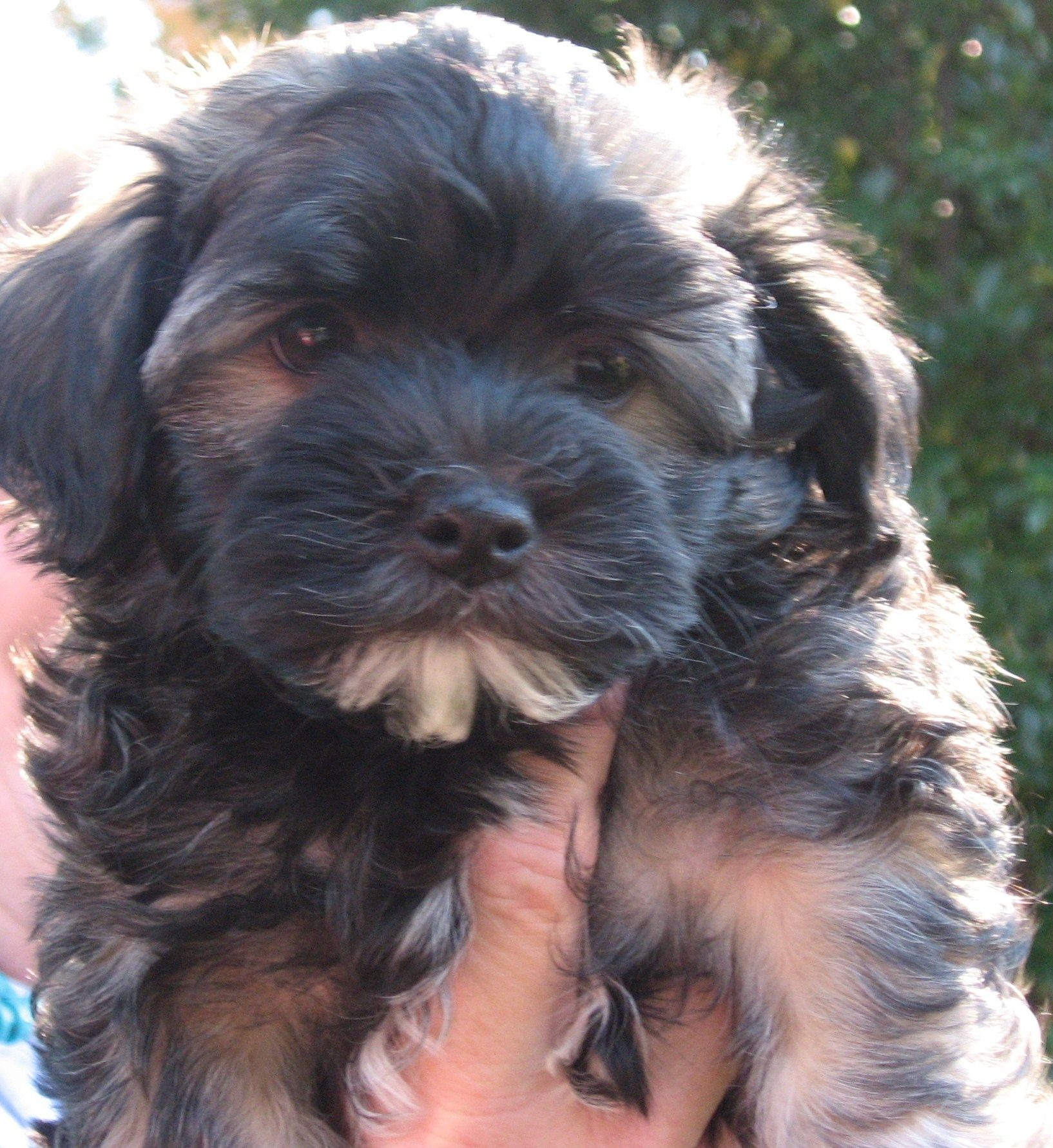 I have a Havanese grand puppy... (Megan's) named walter