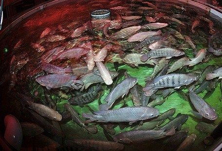 Selecting the right fish for your aquaponics system is a for Estanque para mojarras