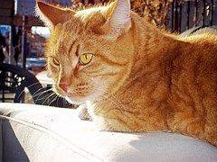 Juovikas Kissa, Kissa, Orange, Eläinten