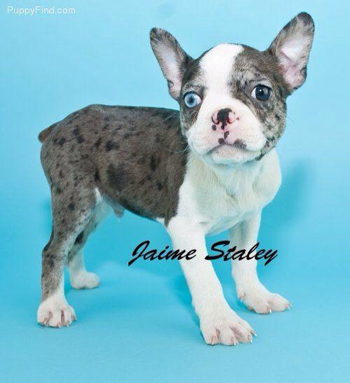 Blue Merle French Bulldog Boston Terrier Cross Boston Terrier
