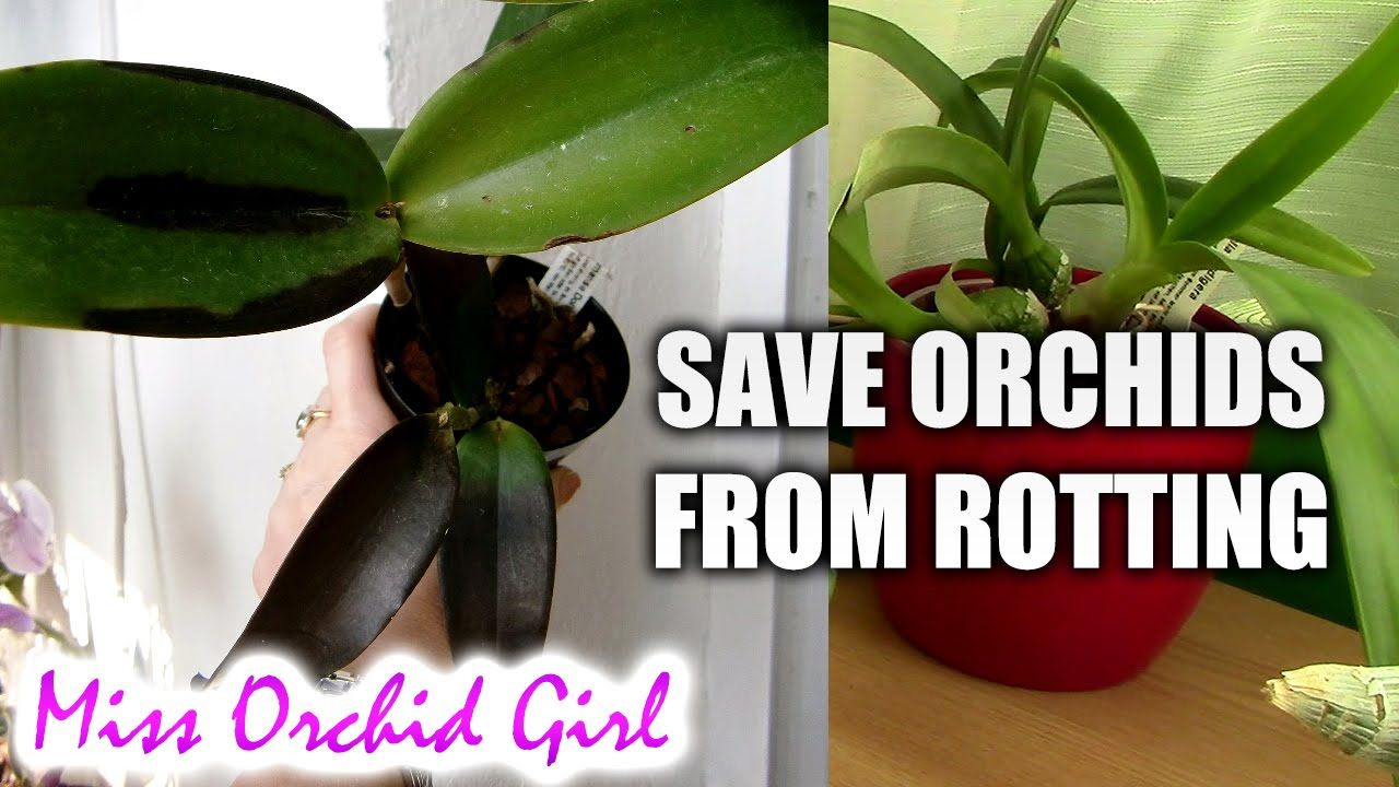 How To Save Orchids With Black Rot Garden Orchids Vanda Orchids