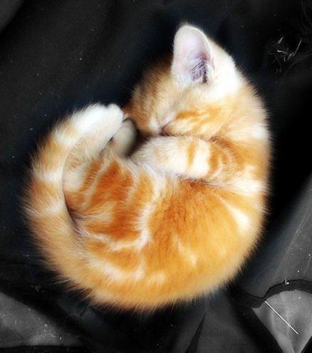 Ces 17 Adorables Felins Vont Vous Donner Envie D Adopter Un Chat Roux Chats Et Chatons Animaux Mignons Chat Roux
