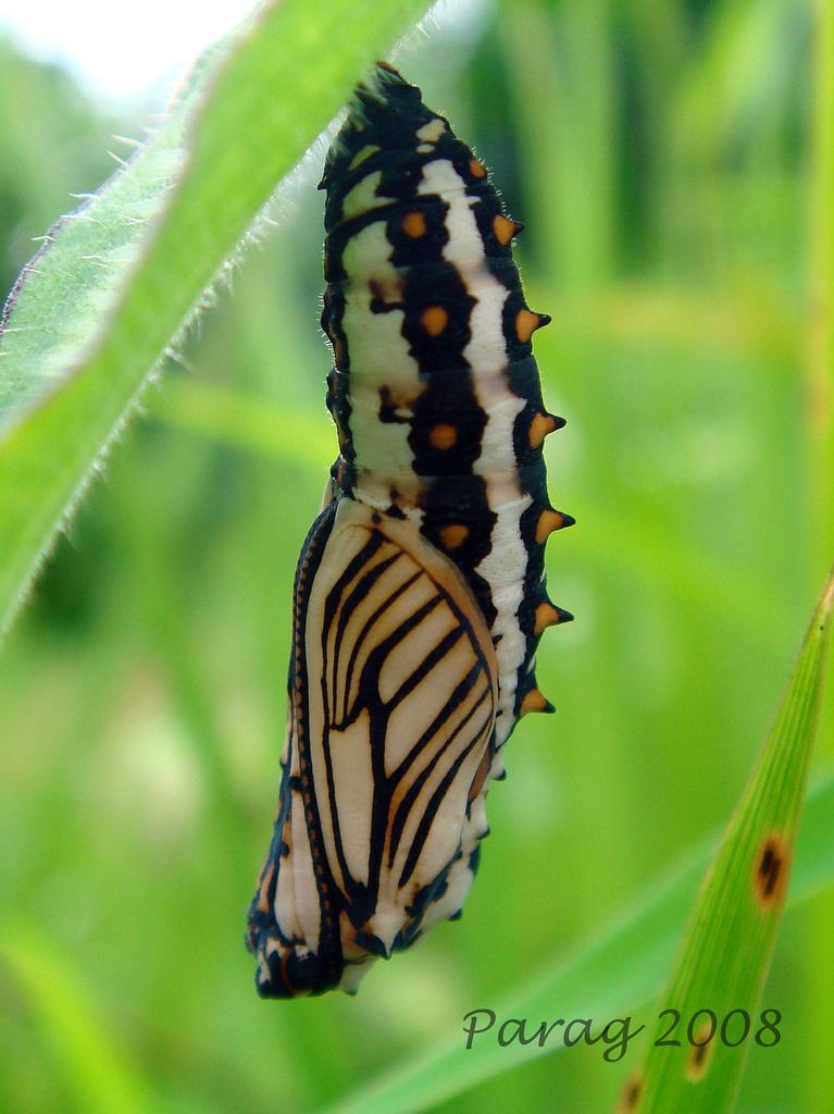 Chrysalis of Yellow coster. Insect collection, Moth