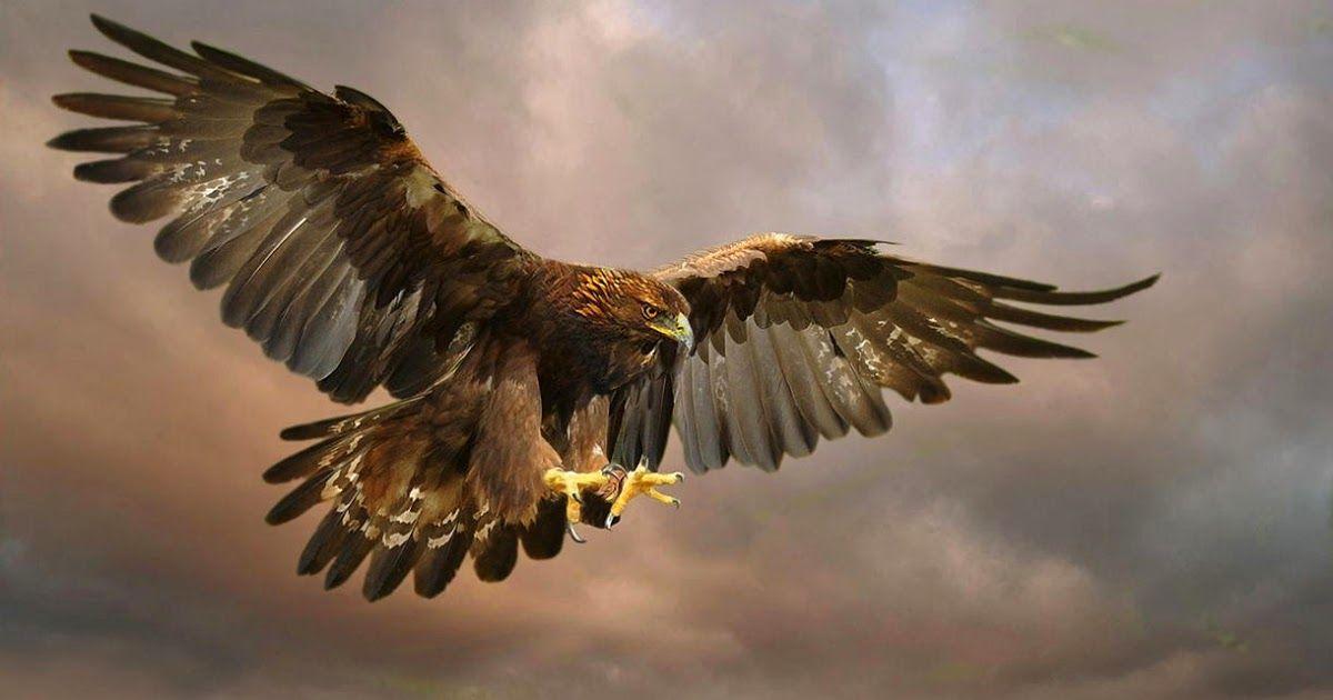 600+  Gambar Burung Rajawali Yg Keren HD Terbaru Gratis