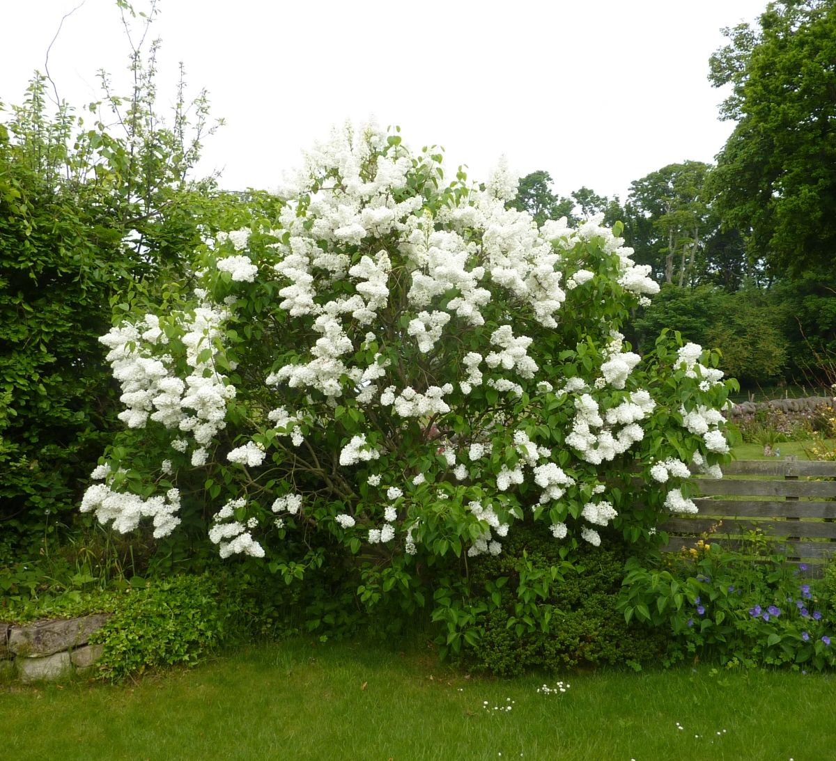 Syringa vulgaris mme lemoine considered one of the - Syringa vulgaris ...