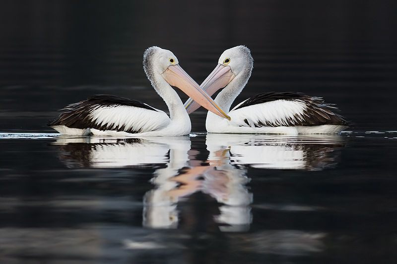 A couple of australian pelicans swimming tattoo pinterest animal a couple of australian pelicans swimming publicscrutiny Choice Image