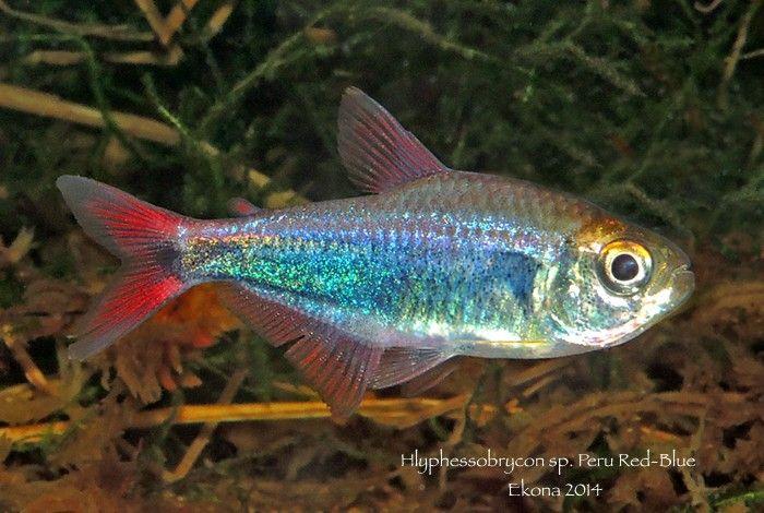 Red Blue Peru Freshwater Aquarium Pinterest Peru Rojo Y Azul Freshwater Aquarium Red And Blue Fish