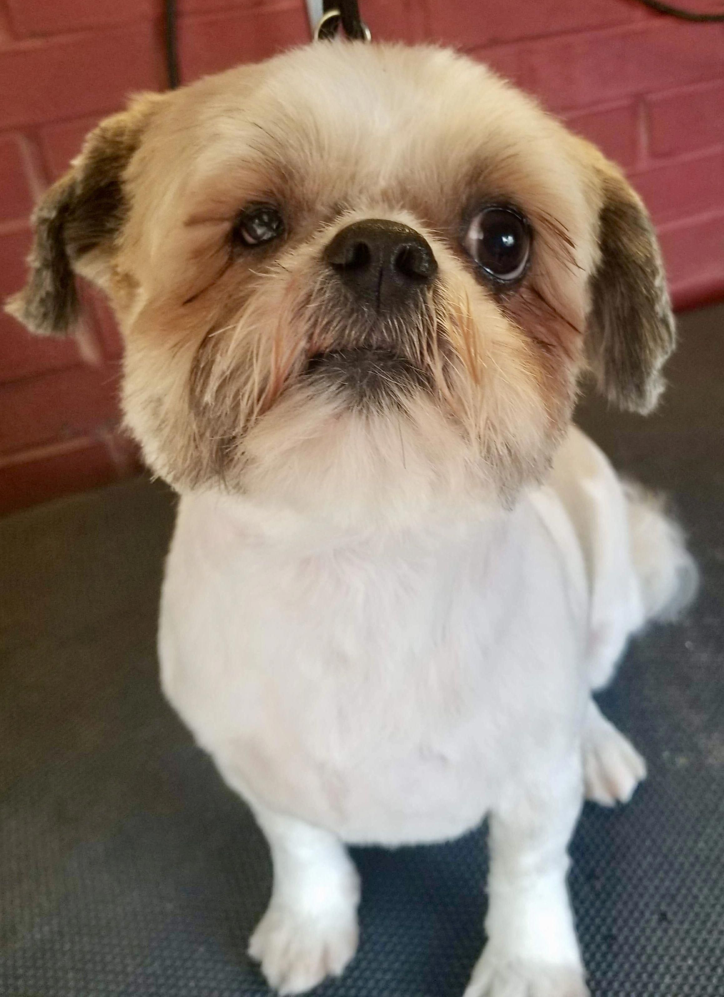 Find Out More On Shih Tzu Puppies Exercise Needs Shihtzupuppies