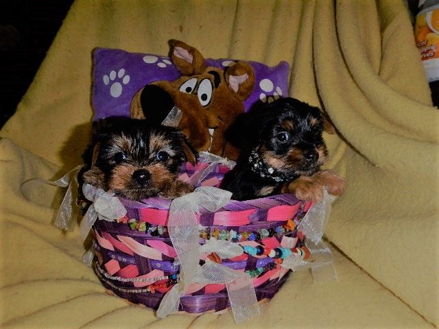 Akc Reg Pure Bred Yorkshire Terrier Puppies I Have Two Litter Of Teacup Yorkshire Terrier Puppies Puppies Yorkshire Terrier