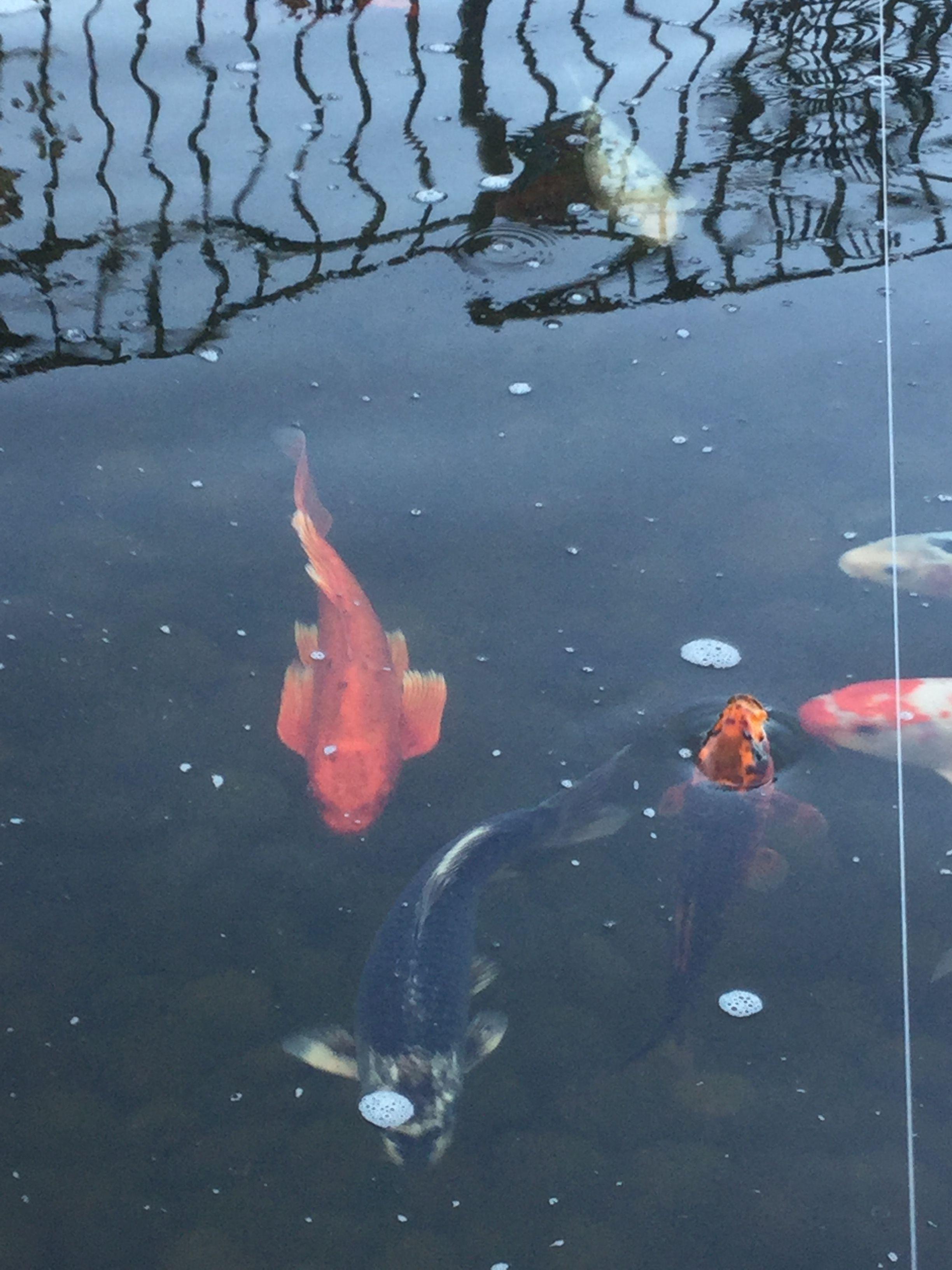 Pin By Lynda Cruz On Ponds And Koi Ponds Backyard Fish Pet Pets