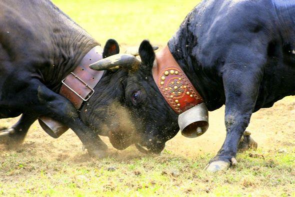 """""""Bataille des reines"""", Aosta, terza domenica di ottobre. La """"battaglia delle regine"""" è un torneo (20 incontri a eliminatorie) con protagoniste le mucche di razza valdostana, la pezzata nera e la castana, le quali si contendono il titolo di """"regina delle regine"""".  La finalissima si tiene nell'arena della Croix Noire ad Aosta. C'è da dire, come molte altre competizioni con animali, anche di tradizione, che, intorno a questi eventi, sono sempre vive polemiche e spesso denunce da parte…"""