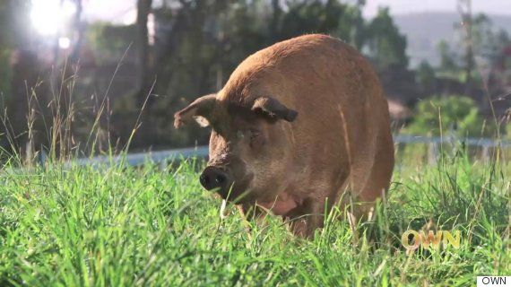 This Mama Pig Was On The Brink Of Death -- Until Her Own Piglets Saved Her (VIDEO)