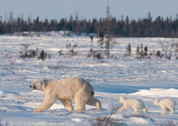 Polar Bear (Ursus maritimus) mother and cub of the western Hudson Bay population recently out of the den. Manitoba, Canada. © Daniel J. Cox/NaturalExposures.com
