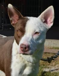 Meet Rainbow a Petfinder adoptable Australian Cattle Dog (Blue Heeler) Dog