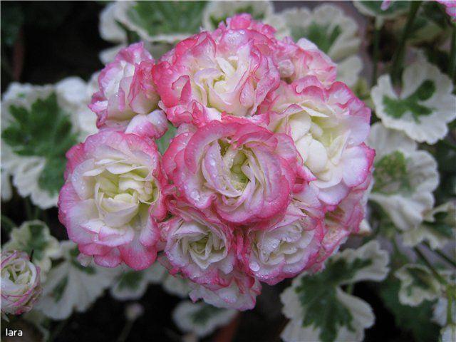 zonal geranium 39 westdale appleblossom 39 plant cultivars. Black Bedroom Furniture Sets. Home Design Ideas