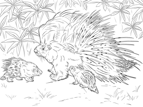 Puercoespin Crestado Dibujo Para Colorear Paginas Para Colorear Dibujos De Animales Dibujos Para Colorear