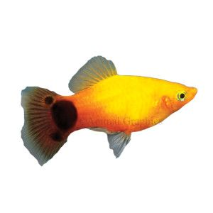 Sunburst mickey mouse platy diet flake frozen freeze for Tropical fish temperature