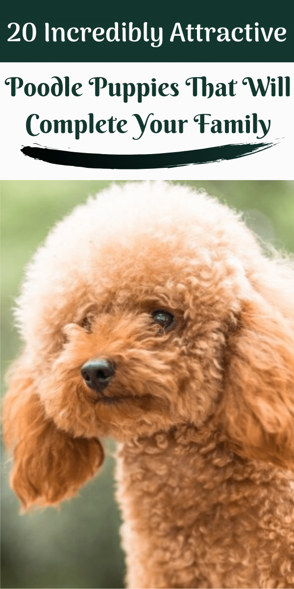 Poodles are considered to be the best breeds to own as there are extremely sensitive and much attached. Poodle puppies are one of the cutest and eye-catching puppies ever. #poodlepuppy #poodlepuppies #cutepoodlepuppies #cutepoodlepuppiesdogbreeds