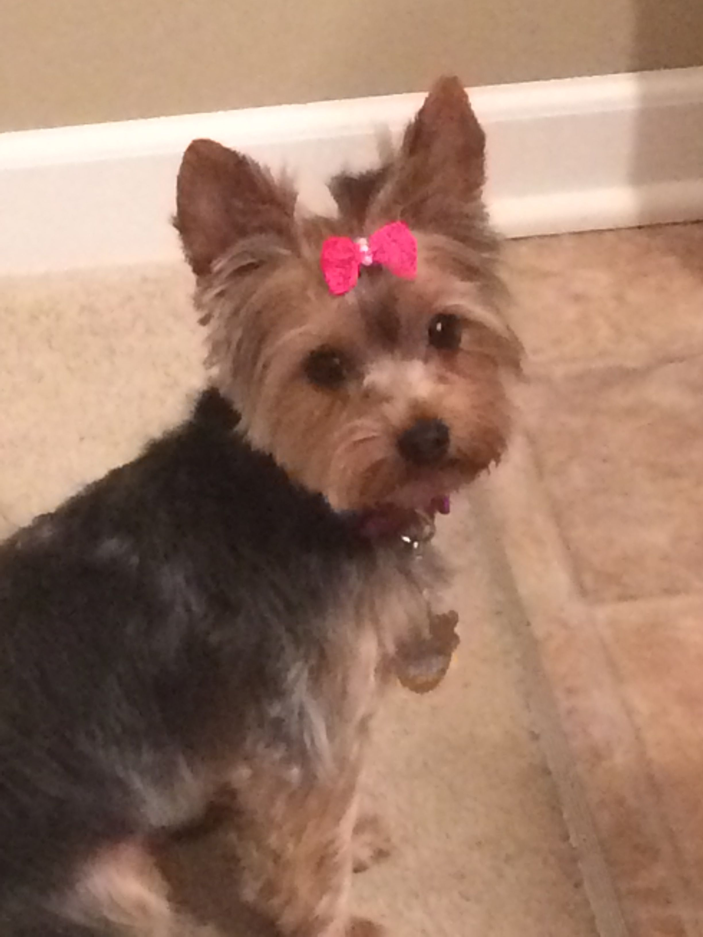 Pin by Robin Christmas on For Mistletoe Yorkie, Animals