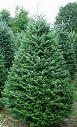 Fraser Fir Tree From Oregon Is A Popular Christmas Tree Its Uniformly Pyramid Shaped With Str Fraser Fir Christmas Tree Real Christmas Tree Fir Christmas Tree