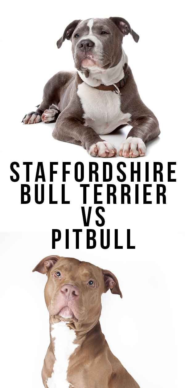 Staffordshire Bull Terrier Vs Pitbull - Which Is Best? in ...
