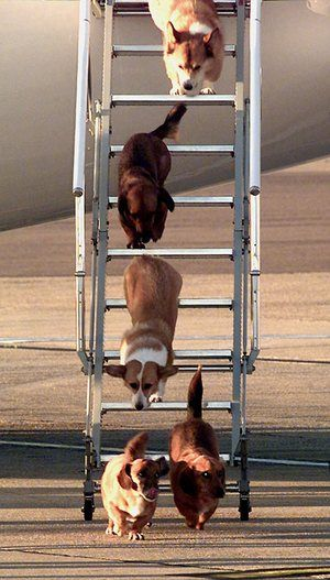 The Queen of England's dogs leave an aircraft at Heathrow Airport after flying from Balmoral