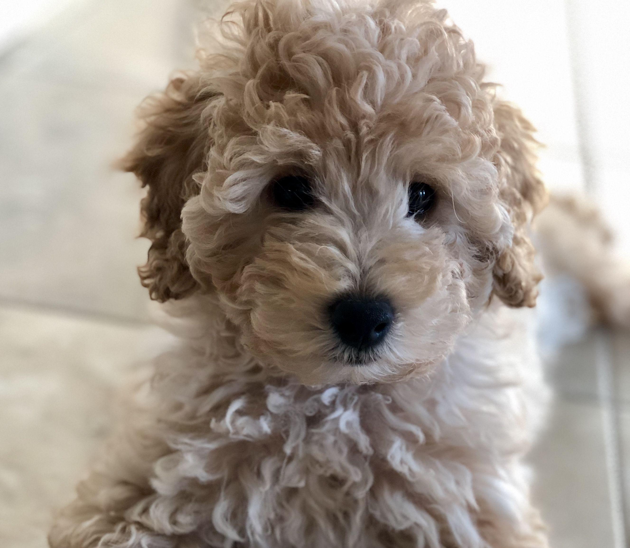 Toy Goldendoodle Puppy Goldendoodle Puppy Toy Goldendoodle