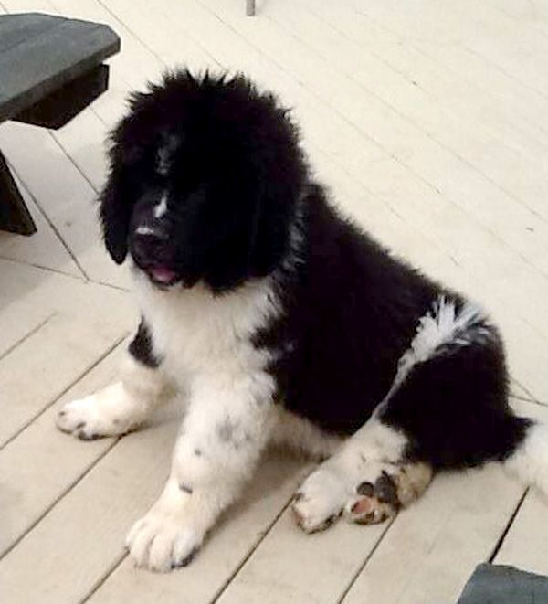 Pin On Newfies