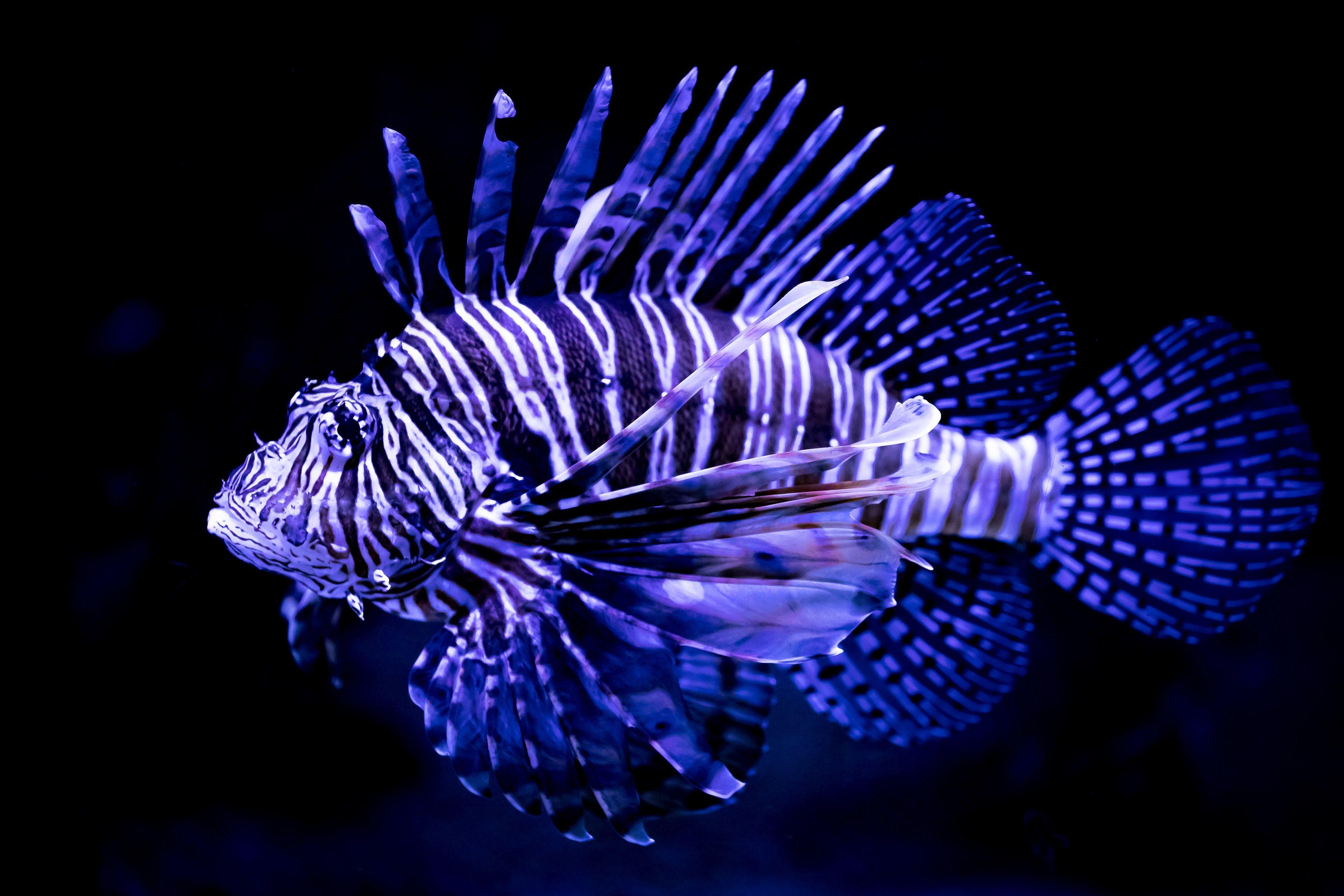 3840x2560 Lionfish 4k Free Wallpaper Lion Fish Beautiful Fish Fish