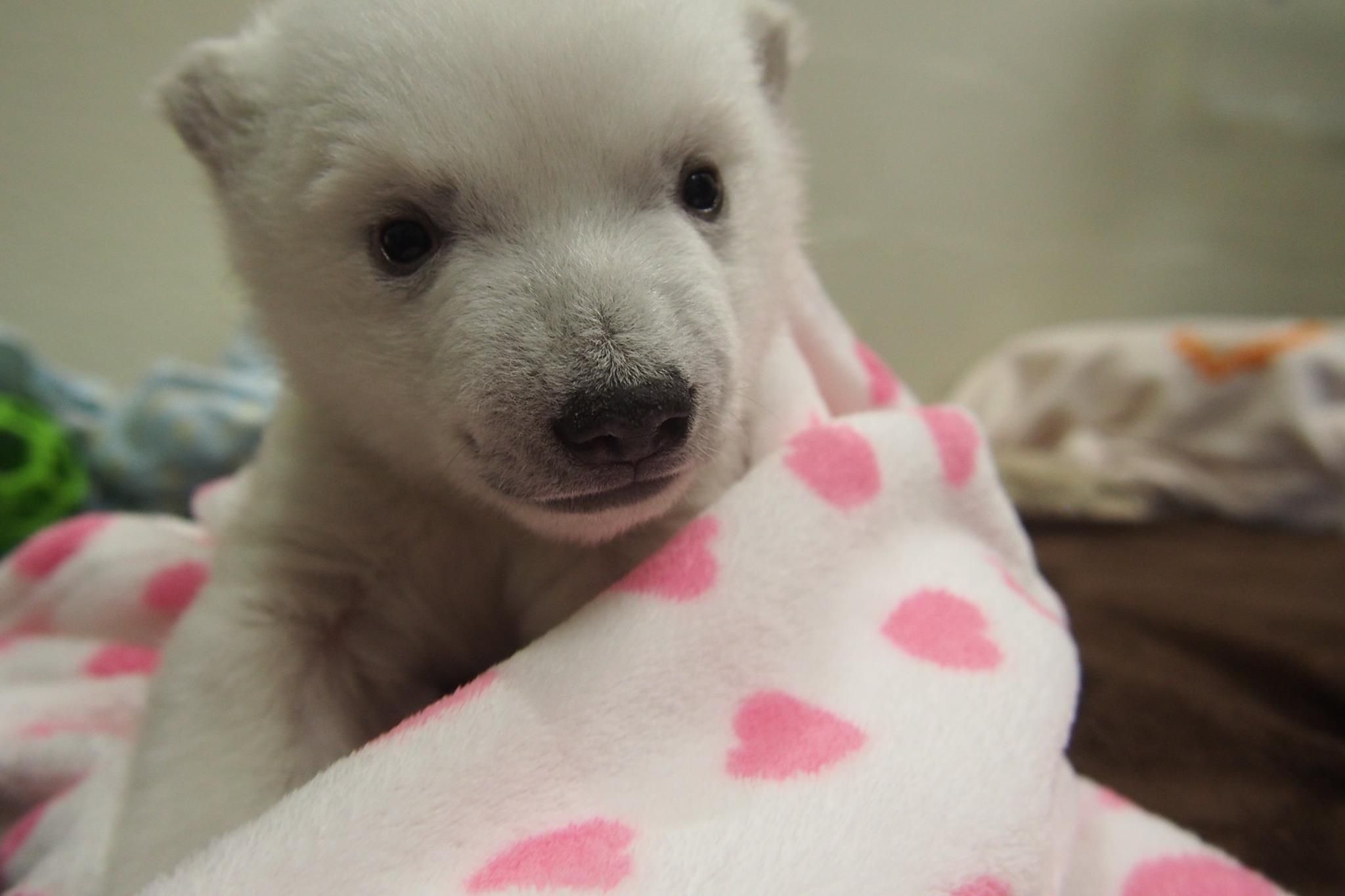 Toronto Zoo S Polar Bear Has Her Eyes Wide Open With Images Baby Polar Bears Toronto Zoo Polar Bear