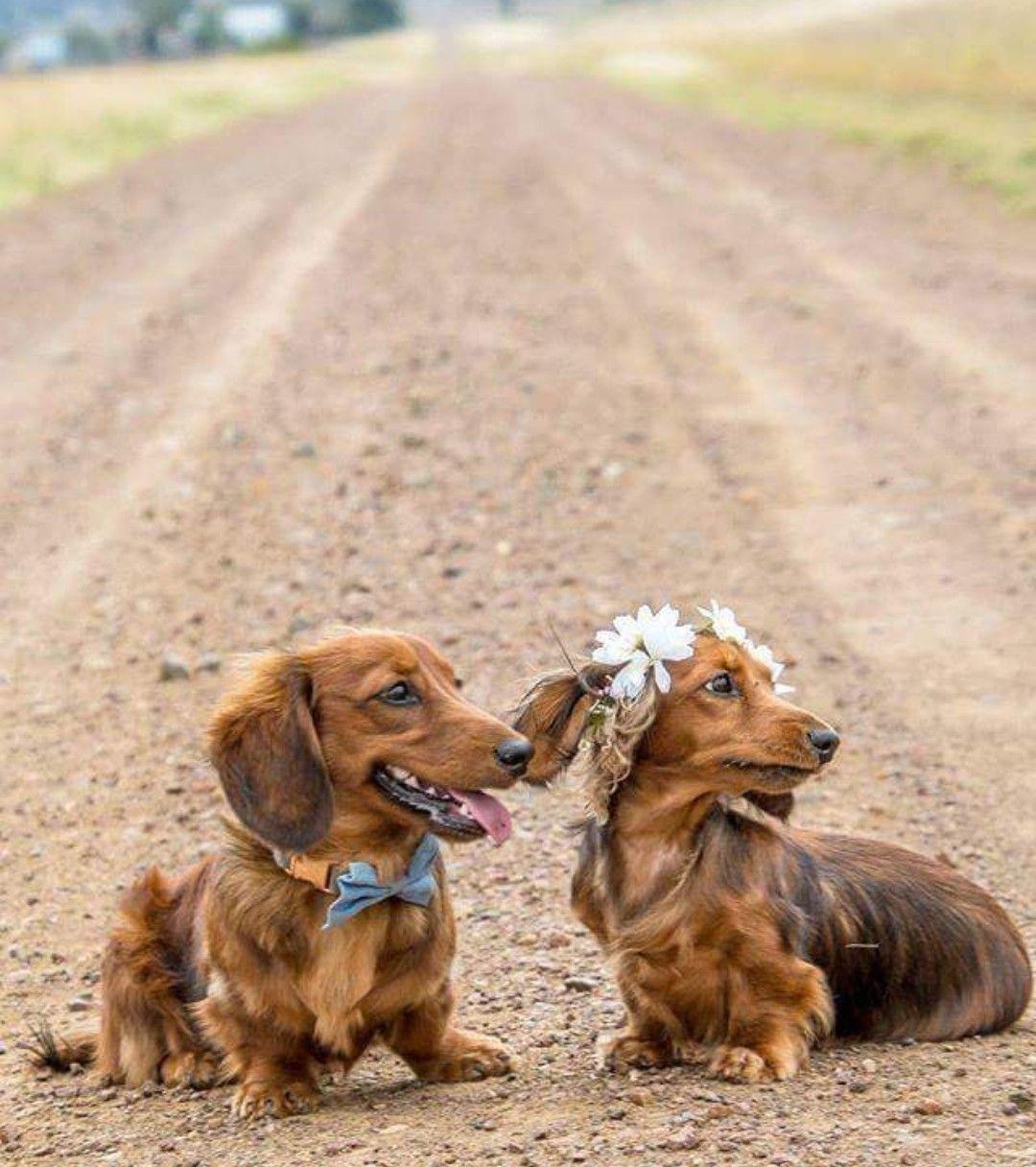Mairin Choogie By Bendi Dachshund Breed Weenie Dogs