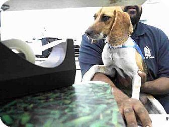 Texas Urgent Honey Id A814766 Is A Young Beagle Mix In Need Of