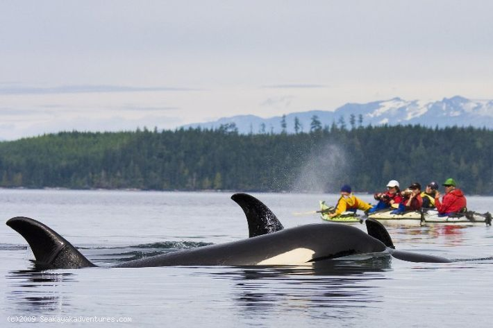 Sea Kayaking Whale Watching Kayak With Orcas In Johnstone Strait Vancouver Island Whale Watching Trip Sea Kayaking Whale Watching Tours