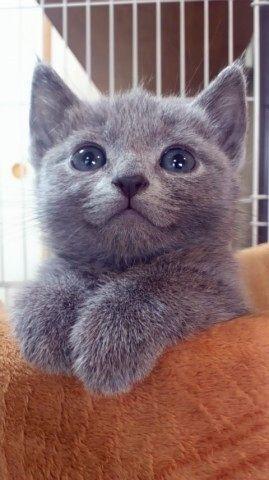 Baby Russian Blue Eyes Kittens Cutest Cats And Kittens Grey Kitten
