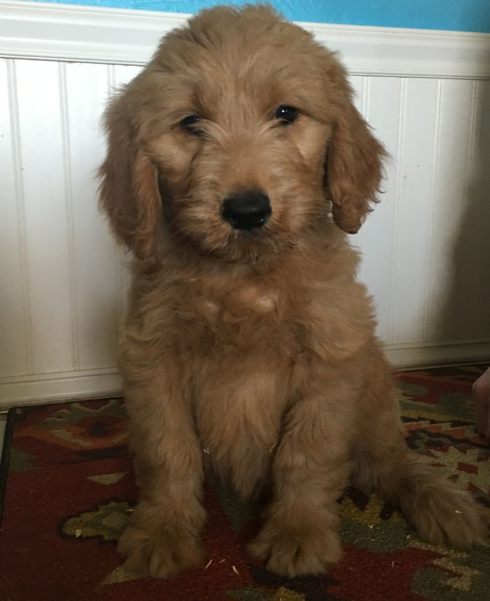 F1b Goldendoodles Puppies Ohio English Golden Doodles For Sale
