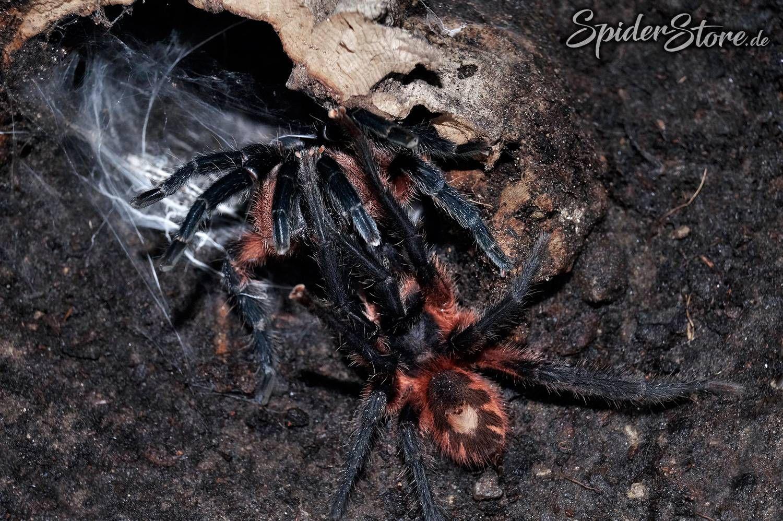 Theraphosinae Sp Panama Vogelspinnen Spinne Panama