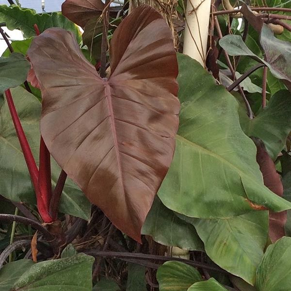 Philodendron Dark Lord Philodendron Hybrid Philodendron Philodendron Plant Plants