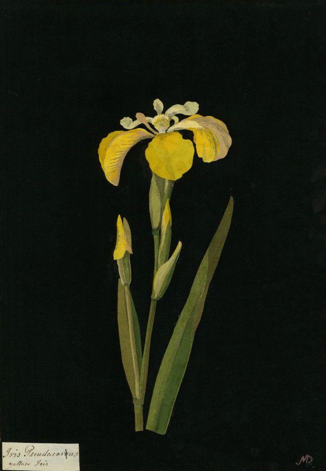 Mary Delany, Iris Pseudacorus, Yellow Iris collage, 1777 (via).