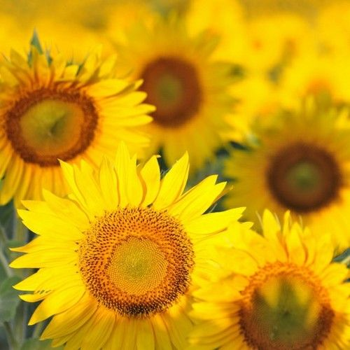 would love to go through a field of sunflowers