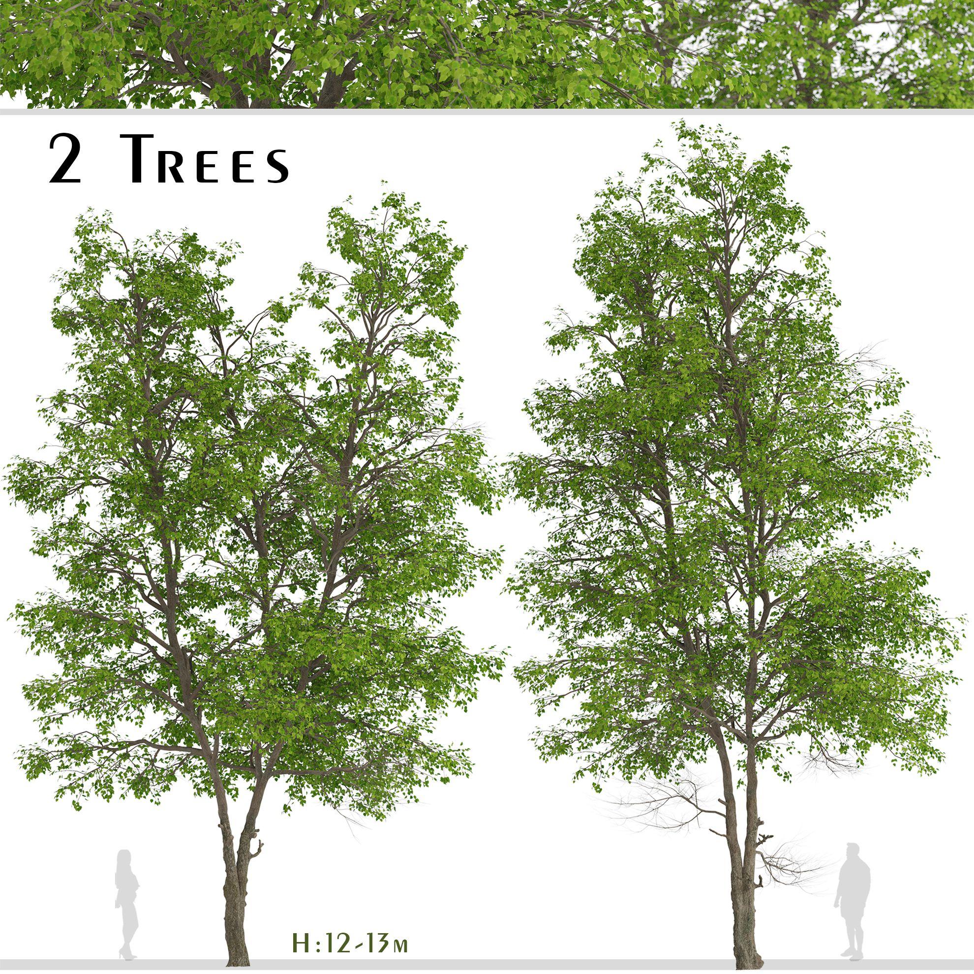 Set Of Tilia Platyphyllos Or Large Leaved Lime Trees 2 Trees 3d Model In 2021 3d Model Tree Lime Tree